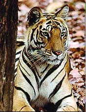 wildlife law adds to woes of indias tigers 9