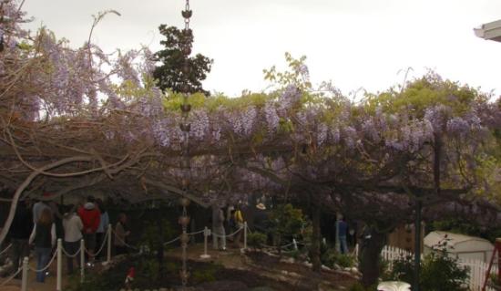 wistaria vine3