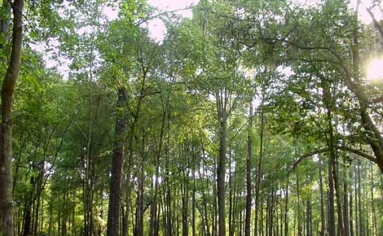 woodfuel trees