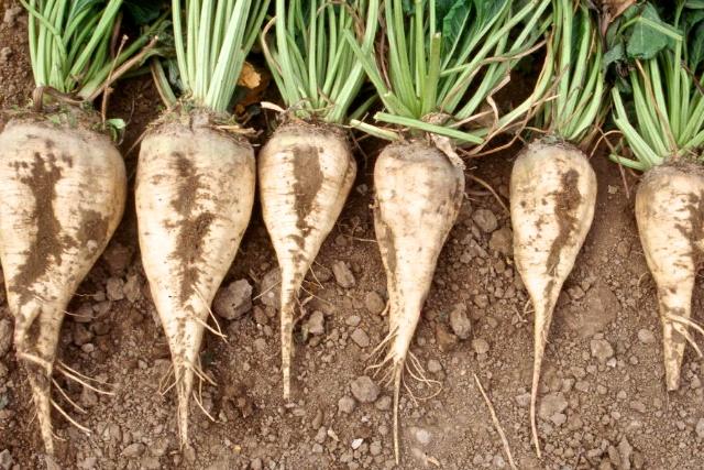 Sugar beets.  Photo by Don Morishita