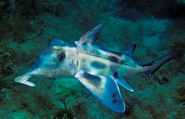 eastern-pacific-black-ghost-shark