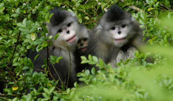 yunnan-golden-monkey