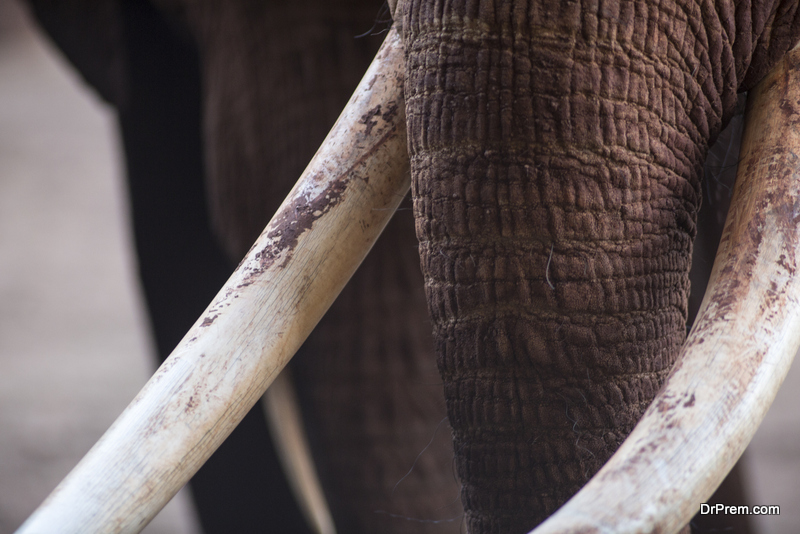Elephants are a special target