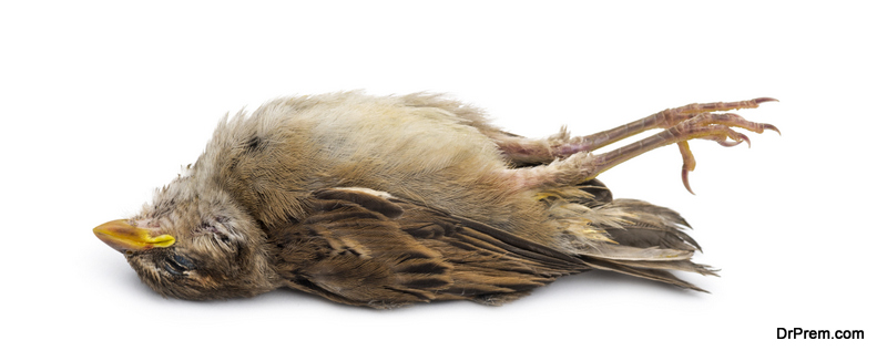 Dead House Sparrow