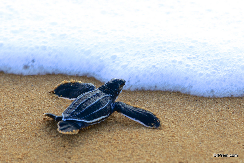 Leatherback-Sea-Turtle.