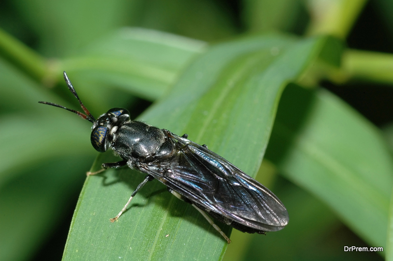 soldier fly are raised on food waste