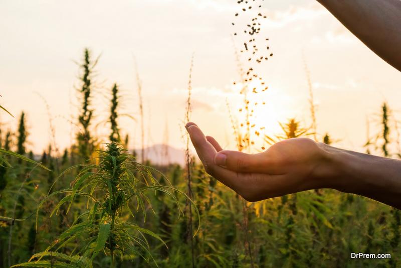 Farmer holding hemp seeds
