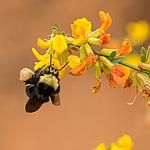 Honeybee in deer weed