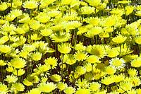 Cluster of dandelions in Mine Wash