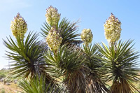 Five Yucca Blooms