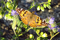 Painted lady Indian Gorge
