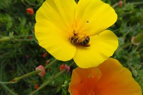 Native Bee in Poppy marker image