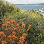 Paintbrush at Point Lobos Reserve