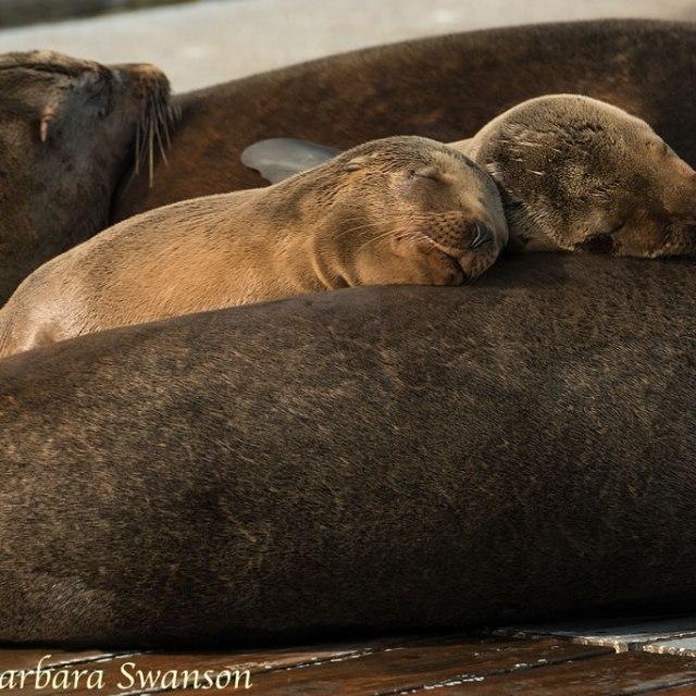 Sea lions snoozing