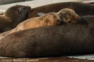 Sea Lion pups snoozing