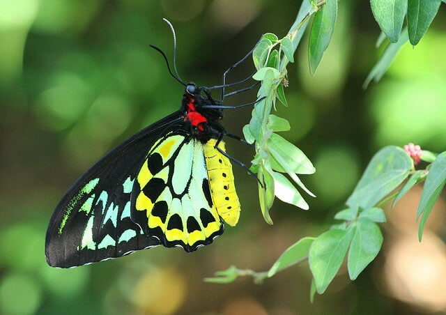 queen alexandrias birdwing
