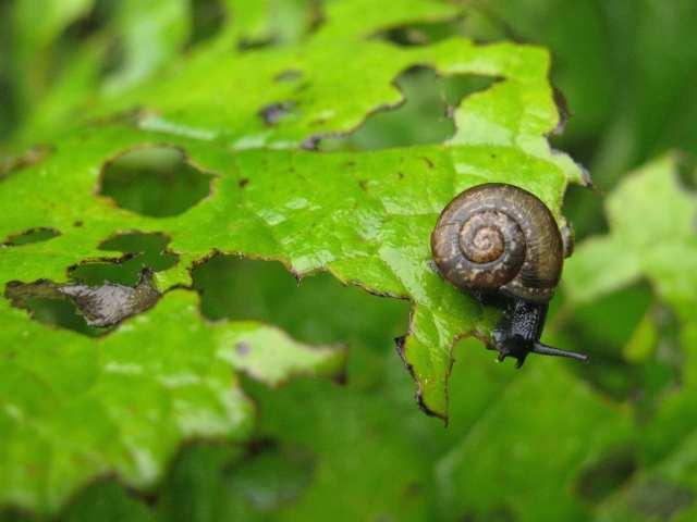 snail garden pest