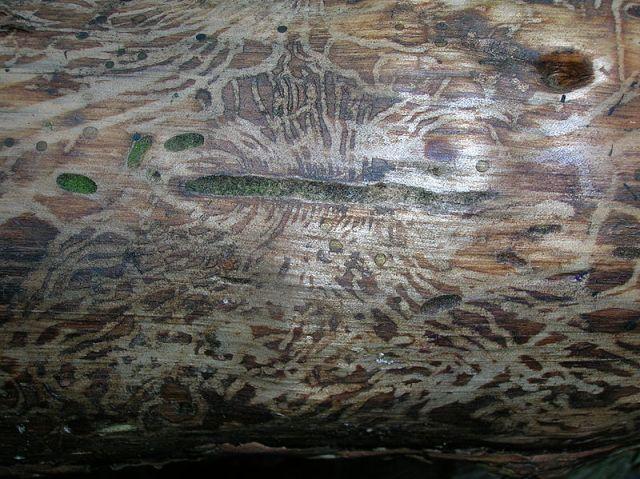 bark beetle larva labyrinths