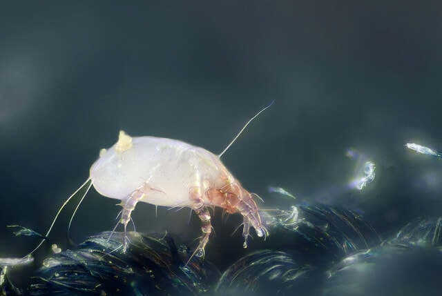 House dust mite - Dermatophagoides pteronyssinus