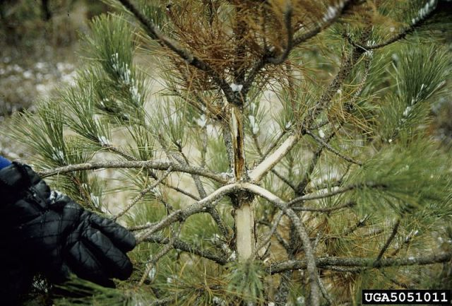 pine needle blight