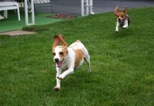 beagles running