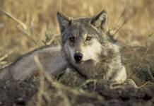 Endangered-Wolf-Killer-Escape-Prosecution