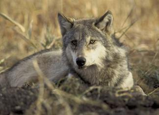 Endangered-Wolf-Killer-Escape-Prosecution