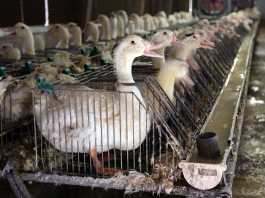 Foie Gras Duck Cages