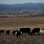 Cattle Grazing in a Colorado Pasture