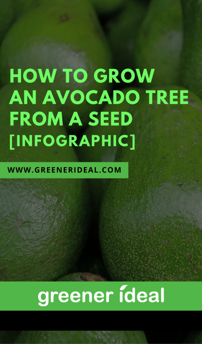 How to grow an avocado tree from a seed infographic for How do you grow an avocado seed
