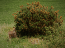 Can you see the deer?