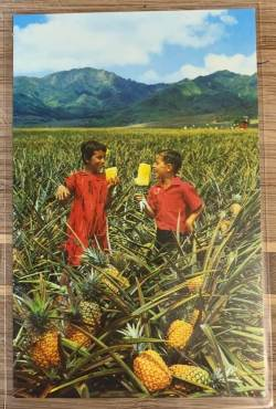Field of Ripe Pineapples post card