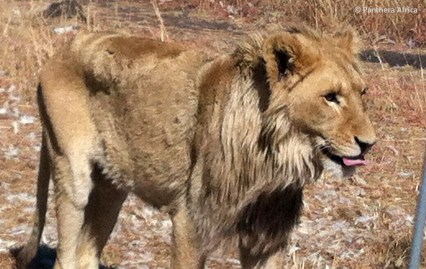 Starved and sick Obi, rescued lion from breeding farm