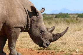 Rhinos with 24/7 anti-poaching control, Gondwana Game Reserve