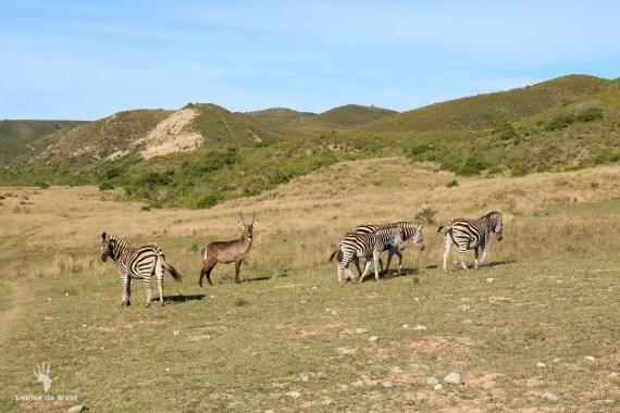 Zebra Game Count Gondwana Game Reserve, Garden Route
