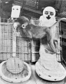 """Baby monkey clings to the soft """"mother"""" even while it nurses from the wire one"""