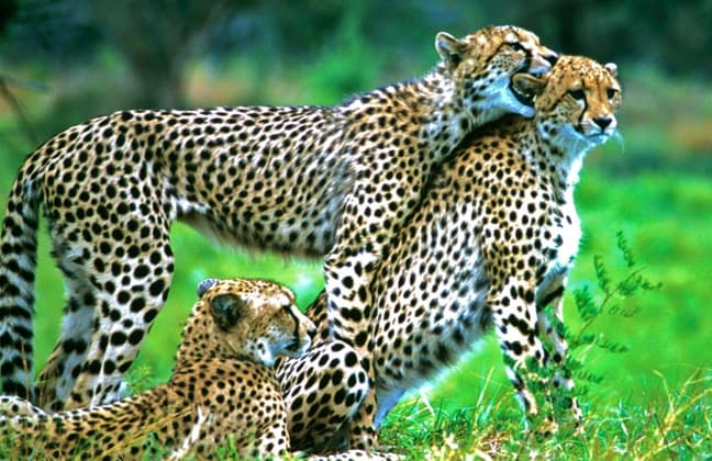 cheetah_cubs_south_Africa_Green_Global_Travel