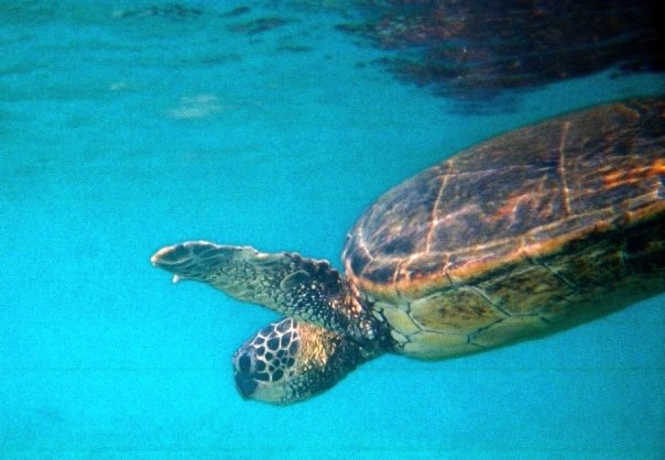 sea-turtle-Hawaii-Big-Island