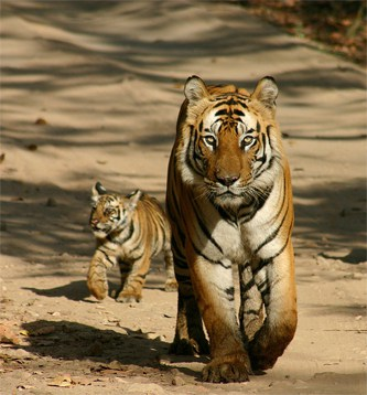 Bengal Tiger and Cub in Pilibhit Tiger Reserve