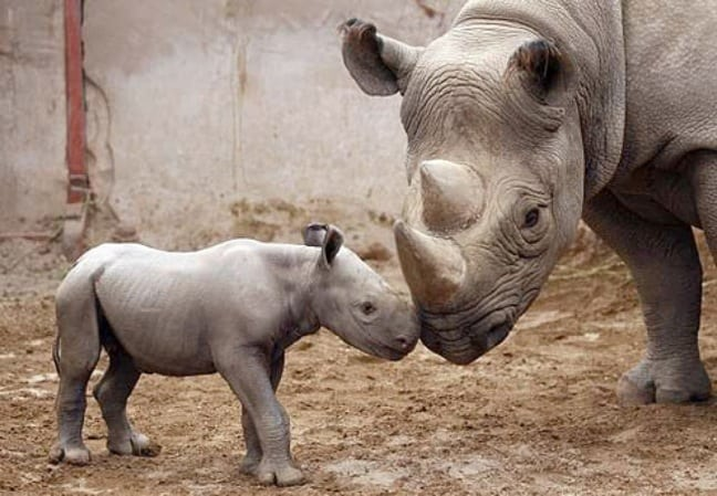 Killing for Conservation- Can Hunting Save the Black Rhino?
