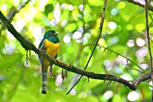 Black-Throated Trogon in Corcovado National Park, Costa Rica