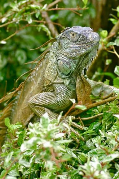 Green Iguana (Adult) in Tortuguero National Park