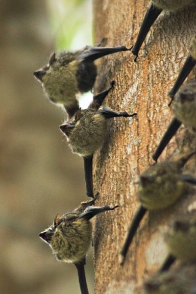 Long-Nosed Bats in Cano Negro Wildlife Refuge
