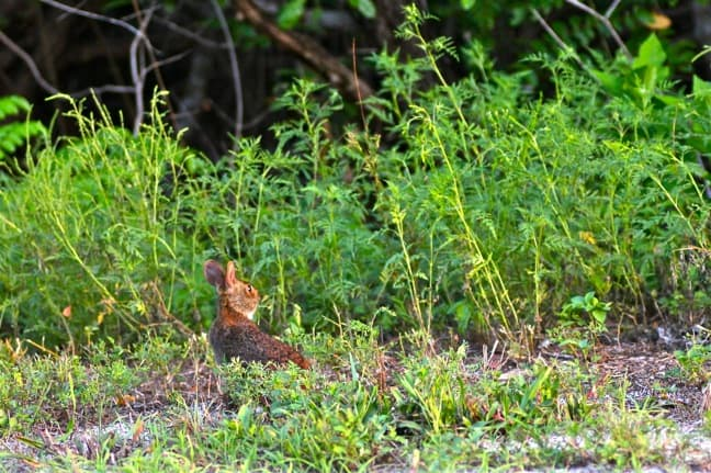 Marsh Rabbit in J.N. Ding Darling National Wildlife Refuge