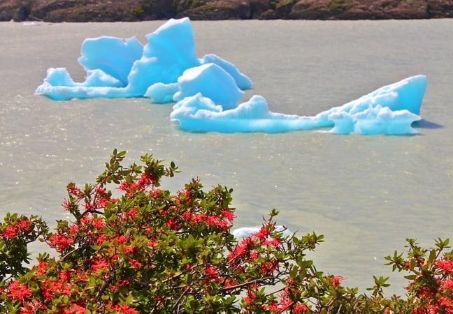 Firebush Near Grey Glacier, Torres Del Paine National Park