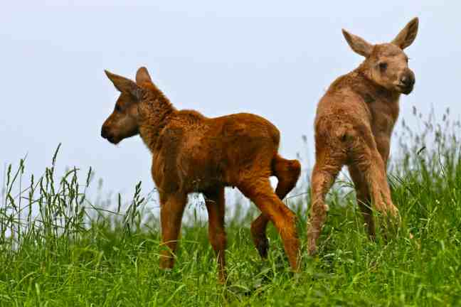Baby Moose Twins at Wragarden Farm in Falkoping, Sweden