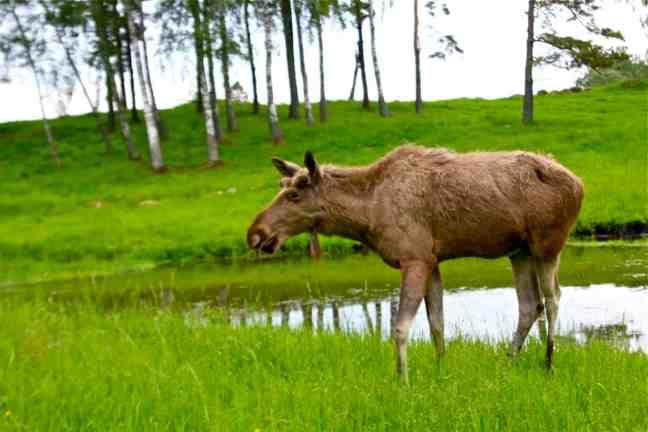 Oskar the Moose at Wragarden Farm in Falkoping, Sweden