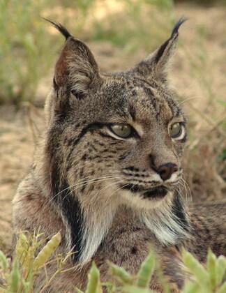 Iberian_Lynx_Closeup