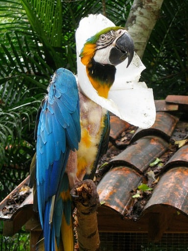 Injured and abused blue and yellow Macaw