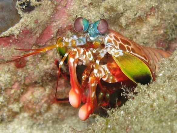 Weird Animals, Mantis Shrimp
